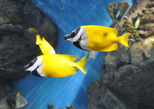 Two tropical small fishes. Float in an aquarium Stock Image