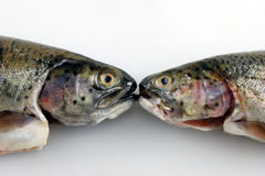 Two Trout Kissing. Two fresh rainbow trout facing each other off Stock Photo