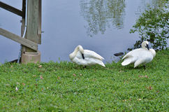Two trumpet swans Royalty Free Stock Images