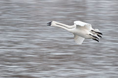 Two Trumpeter Swans (Cygnus buccinator) Fly By Stock Photo