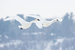 Two trumpeter swans in flight formation Royalty Free Stock Images
