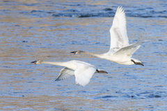 Two trumpeter Swans in flight Royalty Free Stock Image