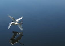 Two trumpeter swans flying by. A pair of trumpeter swans flying together over a calm pond stock photos