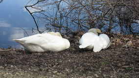 Two Trumpeter Swans stock footage
