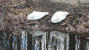 Two Trumpeter Swans Sleeping stock video footage