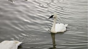 Two trumpeter Swans swimming in the lake looking around. Two trumpeter Swans are swimming in the lake looking around stock video footage
