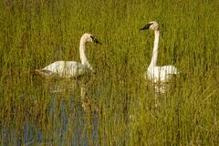 Two trumpeter swans on the Teslin lake, Yukon territory, Canada. Rare species of swans, migratory birds on lake, loayal lifetime partners, harmony and royalty free stock photography
