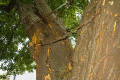 Two  trunk of a tree, fastened by a chain. Stock Photo