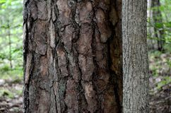 Two trunks. Green forest. Masuria. Poland. Two trunks. Pine and alder. Close-up of bark. Green forest. Masuria. Poland. Wet forest with deciduous and coniferous Royalty Free Stock Photography
