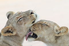 Two trusting Lioness grooming and licking Royalty Free Stock Photography