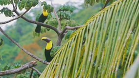 Two tucans on a tree branch. Two tucans sit on tree branches in Costa Rica stock video footage