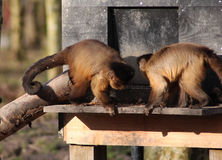 Two Tufted capuchin Royalty Free Stock Image