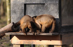 Two Tufted capuchin Stock Images
