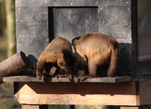 Two Tufted capuchin Royalty Free Stock Photography