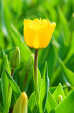 Two tulip flowers Royalty Free Stock Photos