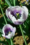 Two tulip hybrids with purple petal bottom and white top, visible yellow stigma and stamens. royalty free stock images