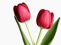 Two Tulips stock image