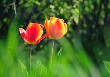 Two tulips Stock Photos