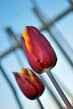 Two tulips Stock Images