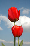 Two tulips. Two red tulips royalty free stock images