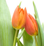 Two tulips Stock Photography
