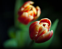 Two tulips on dark background. Horizontal close up of an red and white tulips with dark background. Green leaves are out of focus as is second flower royalty free stock image