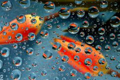 Two tulips in drops. Two orange tulips reflected in drops of water Stock Images