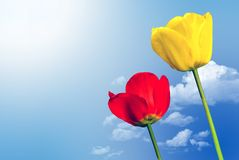 Two tulips in front of the sky. Two coloured tulips in front of blue sky with clouds Royalty Free Stock Photography
