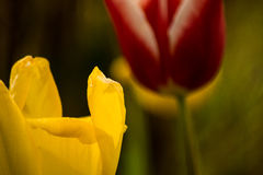 Two tulips in a garden Royalty Free Stock Image