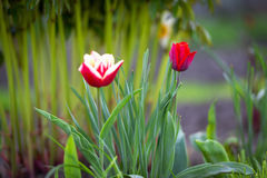 Two tulips in the green Stock Photos