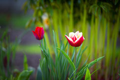 Two tulips in the green Royalty Free Stock Images