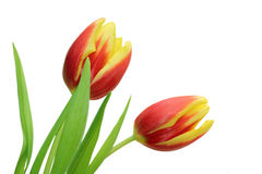 Two tulips isolated. Two fresh tulips red and yellow colored, isolated on white background Stock Photos