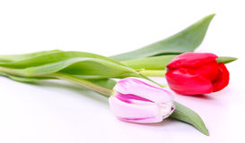 Two tulips, isolated on white Royalty Free Stock Photos
