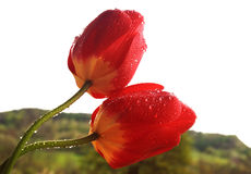 Two tulips in the rain. The rainy tulips with waterdrops Stock Image