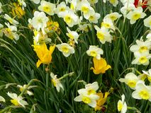 Two tulips surrounded by a field of white and yellow daffodils blooming Stock Photo