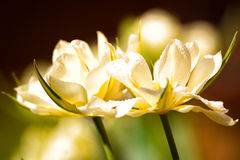 Two Tulips With Water Droplets Stock Images