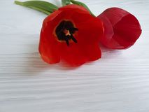 Two tulips on white wooden, sadness funeral mourning. Two tulips on white wooden mourning sadness funeral Royalty Free Stock Photos