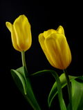 Two Tulips Royalty Free Stock Image