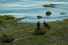 Two Turkey Buzzards on Rocky Shore Royalty Free Stock Images