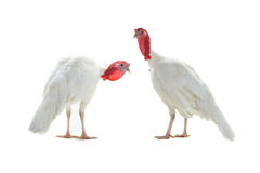 Two turkey Stock Photography