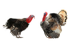 Two  turkey Stock Image