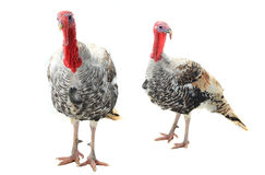 Two  turkey Royalty Free Stock Image