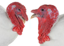 Two turkey Royalty Free Stock Photos