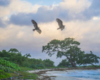 Two turkey vultures fly over remote Jamaican beach at sunrise Stock Image