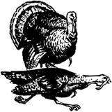 Two Turkeys Stock Photos