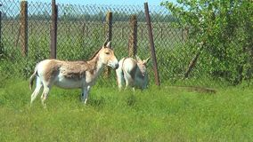 Two Turkmen kulan standing in a pen, and looking at the camera stock video