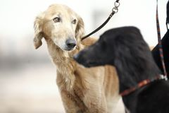 Two Turkmenian greyhound dogs Royalty Free Stock Image