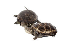 Two turtle. On a white background Royalty Free Stock Photos