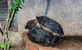Two turtle carapace hard. Qingdao is one of the largest species in the genus Testudines a cold-blooded animal. In reptiles The turtle is a species of animal that Royalty Free Stock Image