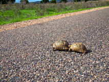 Two turtle cross the road. On the background of trees Royalty Free Stock Image